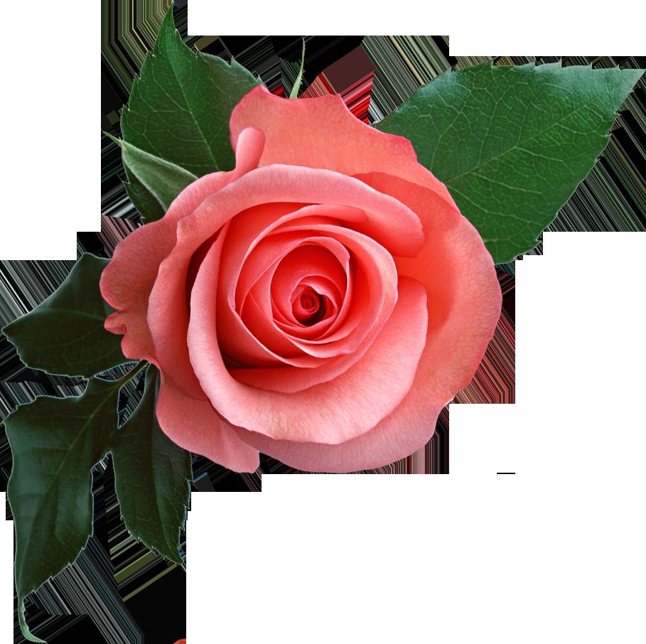 rose_PNG637